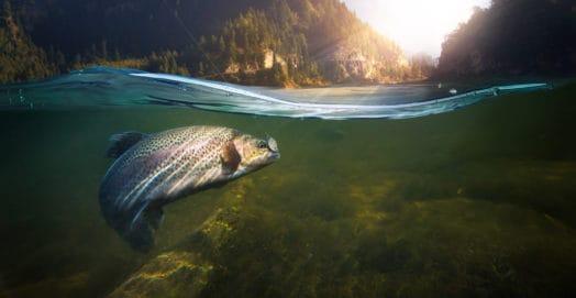 Fish in Stream