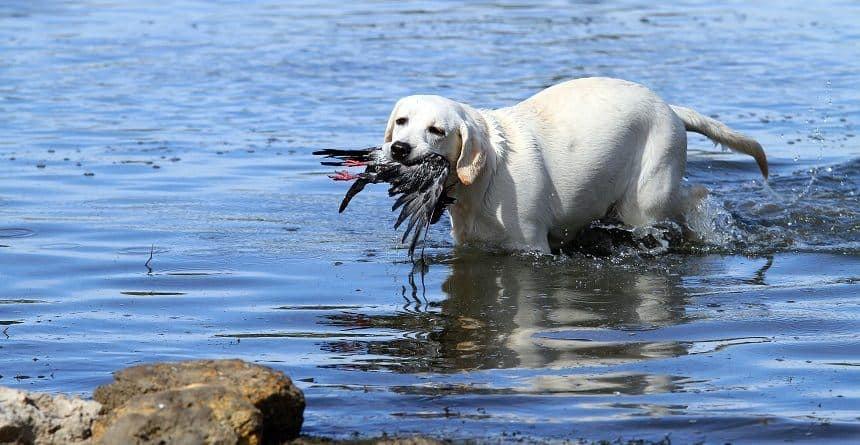 Best Hunting Dogs Labrador Goose Hunt