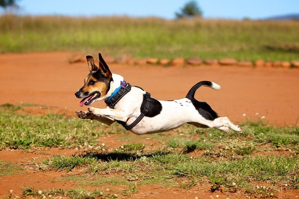 Leaping Jack Russell On The Hunt